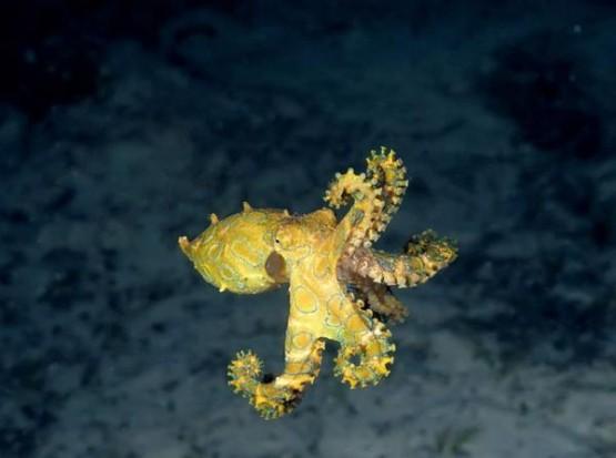 Малък октопод в Големия бариерен риф