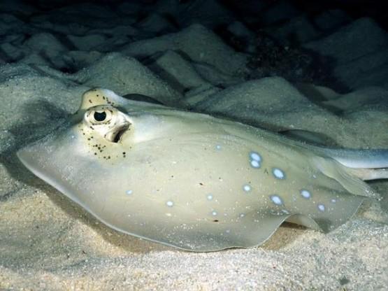 Риба Скат