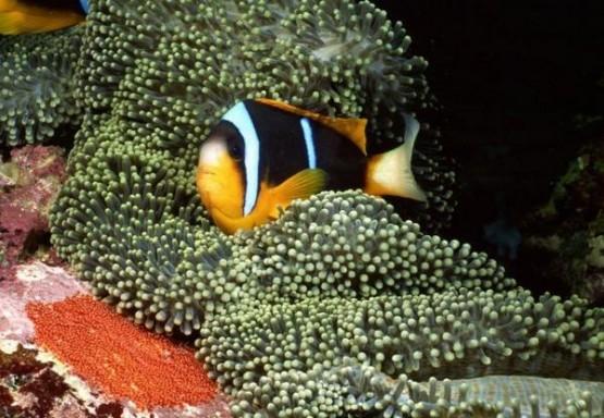 Риба в Големия бариерен риф