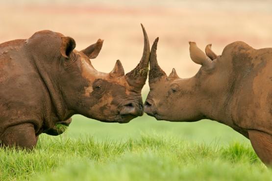 Носорози се подушват в Нгоронгоро