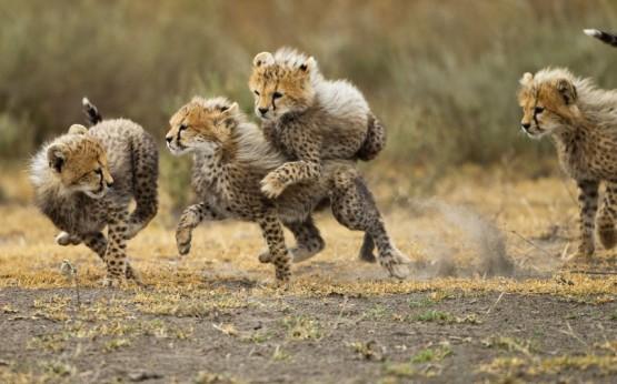 Малки тигърчета играят в Нгоронгоро