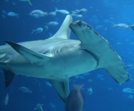 Акулите чук са характерни само за този район.
