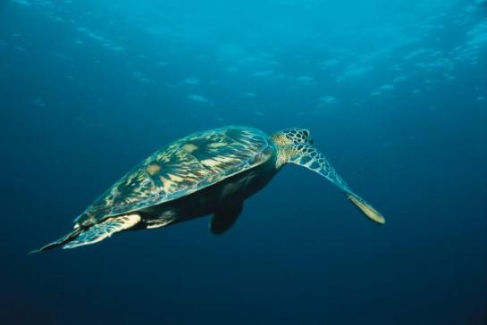 Морска костенурка плува във водите до архипелага Галапагос