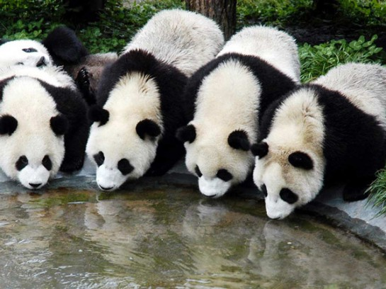 Панди в националния парк Цзючжайгоу - Китай