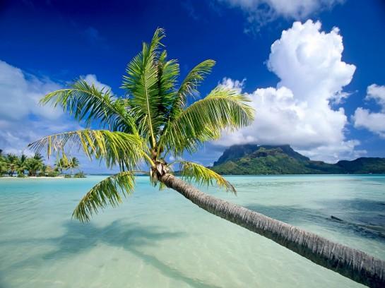 Палмово дърво в остров Бора Бора
