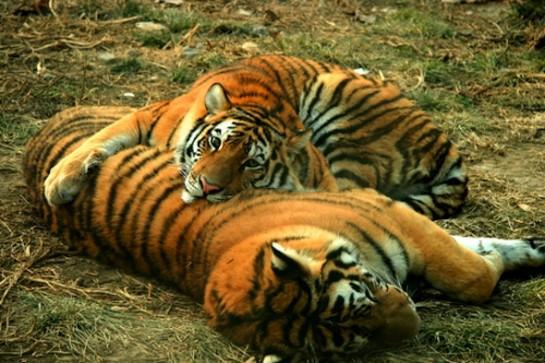 Бенгалския тигър в националния парк Читван